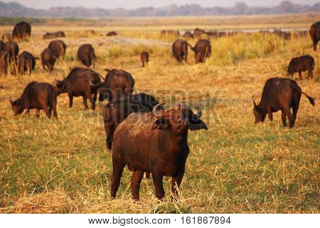 a herd of African Buffalo in the savannah one male is standing in the front and look into the camera