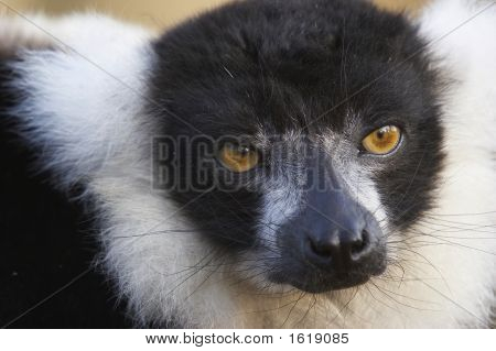 Endangered Lemur