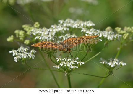 Marsh Fritillary And White Flowers