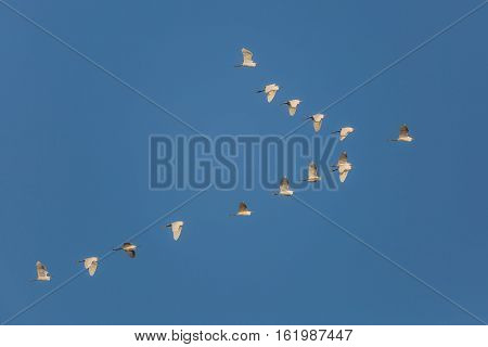 Flock Of Snowy Egrets In Flight - Cedar Key, Florida