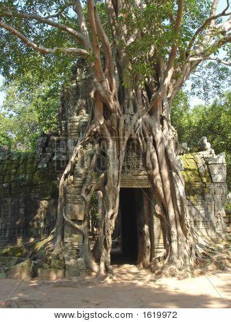 Banyan-Baum für völlig eines alten Khmer Pyramide-Tempels, Bayon, Angkor MwSt-Tempel, cambodgia