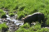 picture of razorback  - Free-range hog enjoying life on a Spring day after a mud bath. ** Note: Slight blurriness, best at smaller sizes - JPG