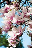 foto of saucer magnolia  - Close up of magnolia blossom in full bloom - JPG