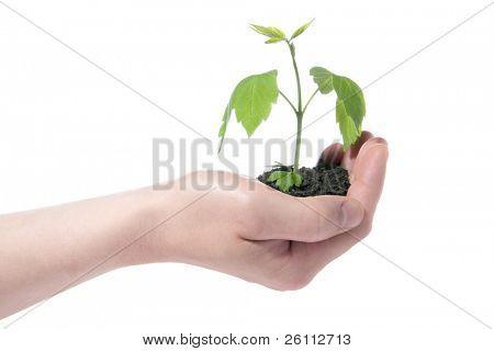 planta verde fresca en mano aislada sobre fondo blanco