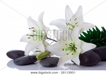 madonna lily flower with stones on white
