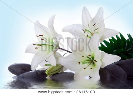 madonna lily and spa stone in water on white