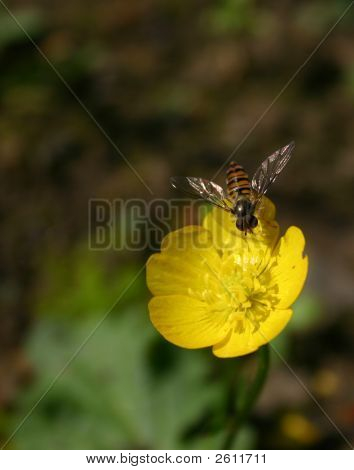 Buttercup & Hover Fly