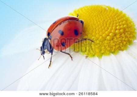 ladybug on camomile flower under blue sky