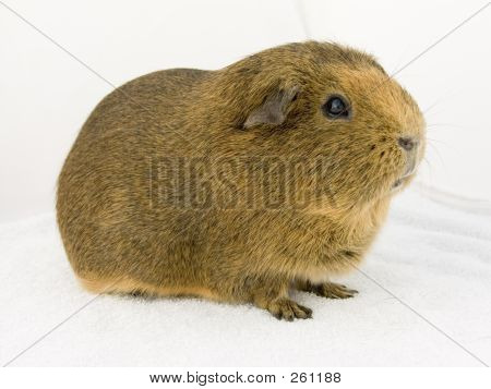 Brown Guineapig