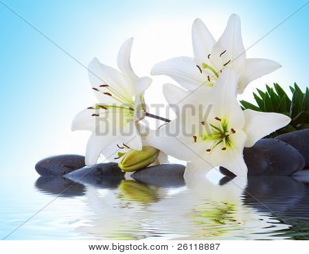madonna lily on blue background