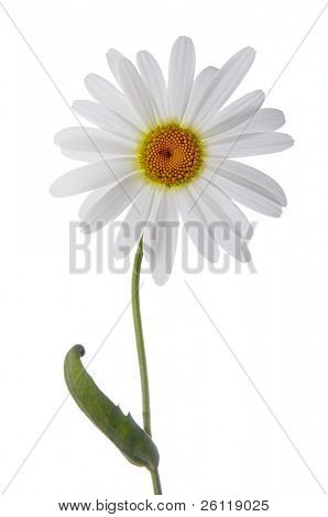 camomile flower on white background