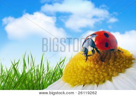 Marienkäfer auf Blume unter blauen Himmel mit Wolken