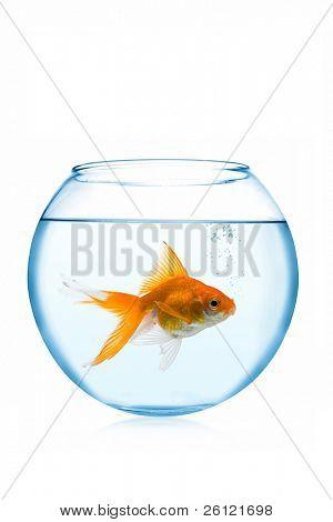 Goldfische im Aquarium auf weißem Hintergrund