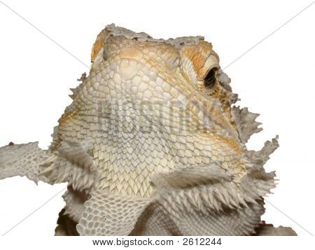 Shedding Bearded Dragon