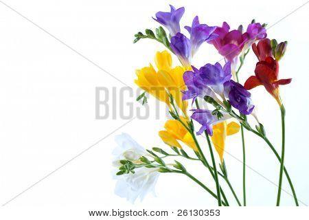 Flores de açafrão isolados no fundo branco
