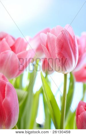 tulips flowers on blue sky and sun
