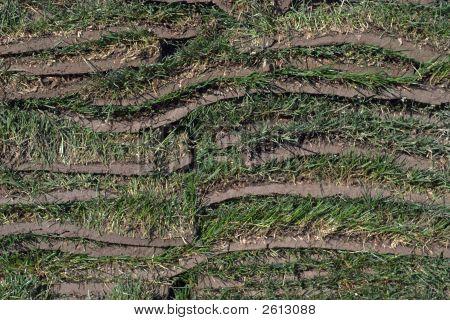 Sod Grass