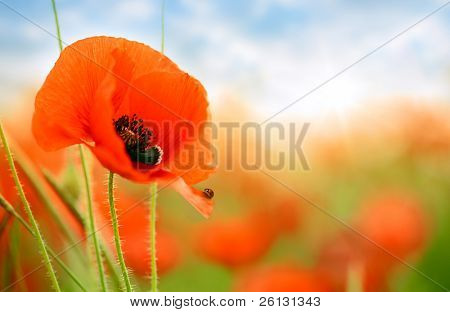 poppies on green field under blue sky
