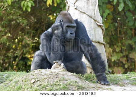 Thoughtful Gorilla