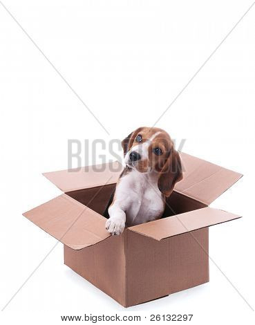 beagle puppy in box over white background