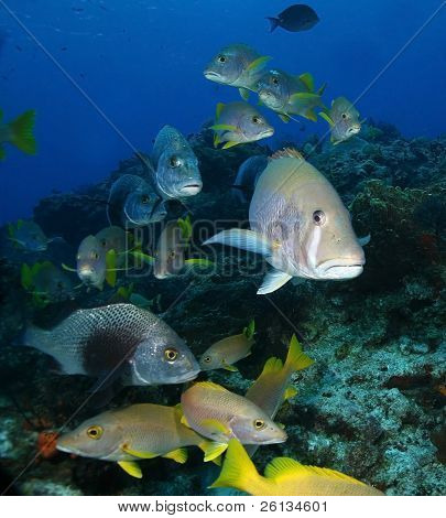 Schooling Snappers on a Coral Reef