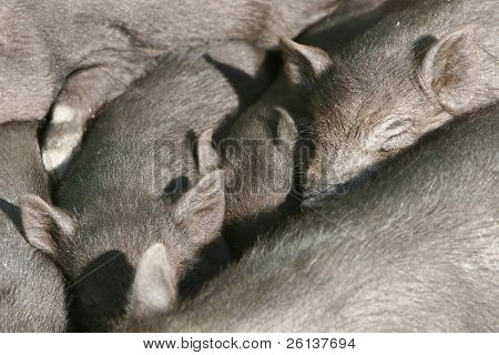 many sleeping piglets