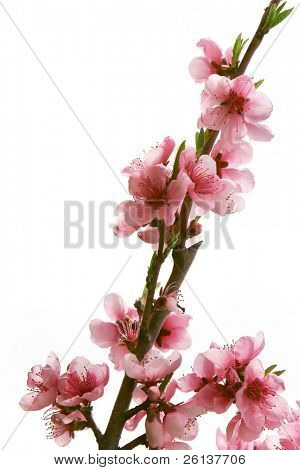 peach branch with flowers over white