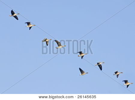 Greylag geese heading south, flying in an erratic line