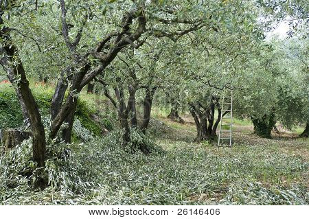 Pruning in an olive orchard in the Vaucluse, France