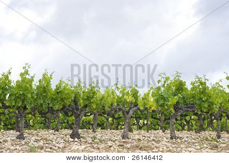 The neatly aligned rows of grape vines in a vineyard in the Cote du Rhone region, France