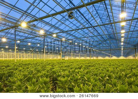 A glasshouse growing endless rows of lilies at dusk