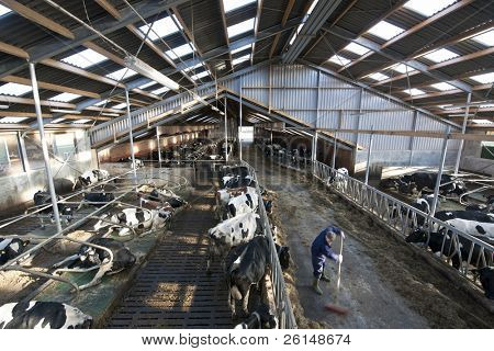 Modern stable interior, with many cows lingering about, light and spacious skylights and a farmer at work