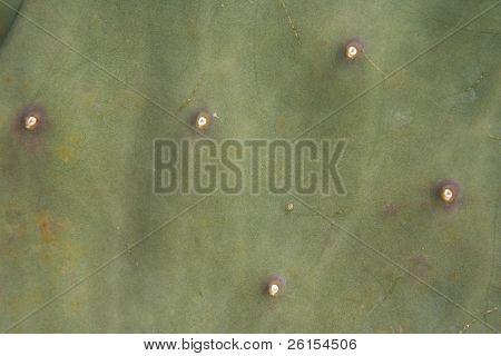 skrupelloser Kaktus sukkulente
