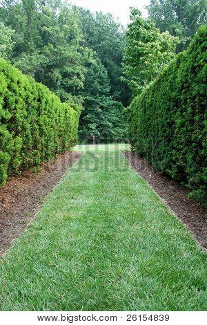 View down a green hedge corridor