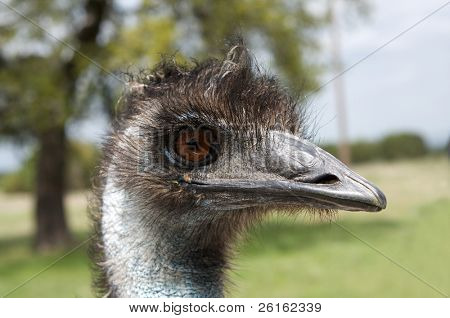 Candid close up shot of a curious Emu with great detail