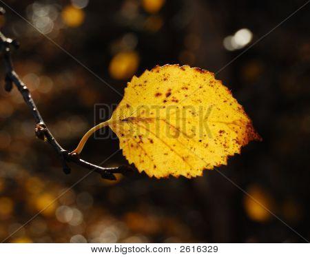 Autumn Sheet Of The Birch