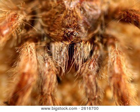 Big Spider (Avicularia Spec.)