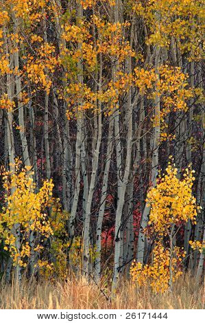 Many fall birch aspen trees with golden leaves
