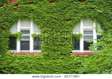 Closeup detail of green ivy on wall of building with windows