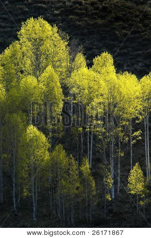 View of forrest of green birch trees on mountainside