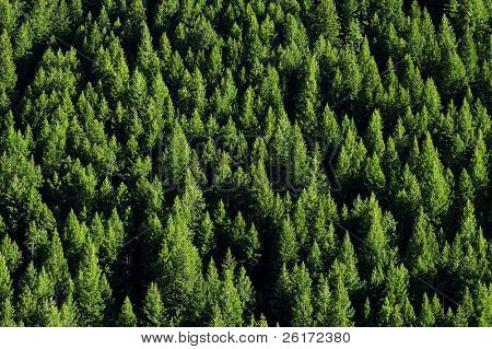 View of forrest of green pine trees on mountainside