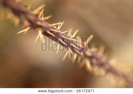 Closeup detail of thorns on a branch of a thorn bush