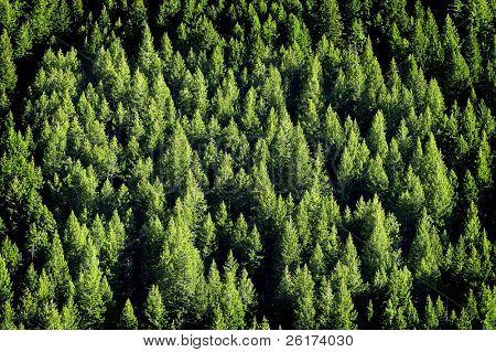 Blick auf Forrest der grünen Pinien am Berg