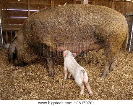 Sow & Suckling Piglet