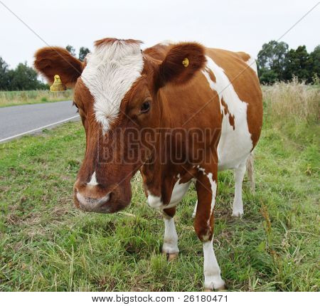 An Ayrshire cow looking down at the camera