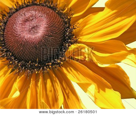 Rudbeckia Goldilocks isolated with clipping path