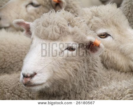 A woolly sheep with an orange ear tag