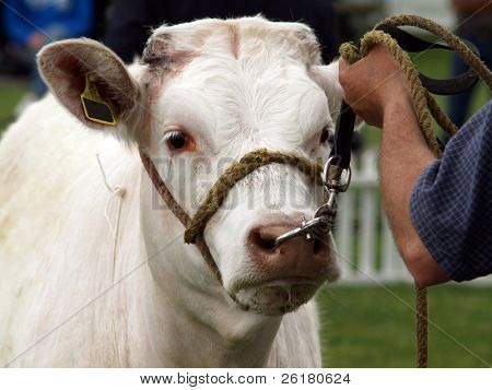 A Charolais being held by a handler