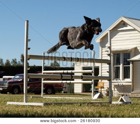 A dog coming over a jum in an agility competition