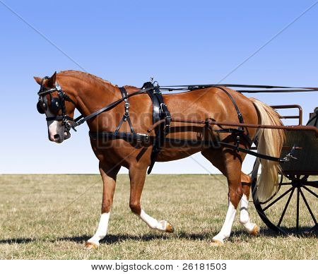 Partial isolation of a pony in Harness for a carriage